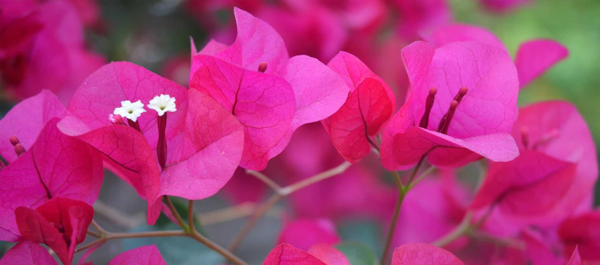fuchsia-bougainvillea